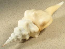 Fusinus undatus m/O PH 18+cm