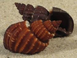 Scalptia textilis PH 2,5+cm