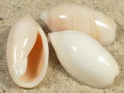 Ancilla ventricosa fulva TZ 2,2+cm
