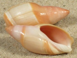 Amalda mamillata TW 3,3+cm