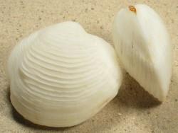 Austriella corrugata PH 4,5+cm
