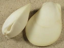 Ctenoides ales PH 5,8+cm