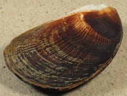 Beguina semiorbiculata PH 6,7+cm