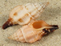 Peristernia ustulata PH 2,8+cm