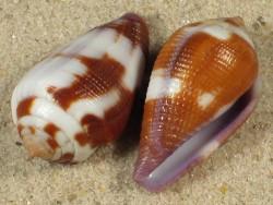 Conus coffea FJ 2,7+cm