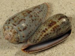 Conus cinereus gabrielii PH 3,7+cm