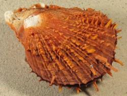 Spondylus reevei PH 12,5cm *Unikat*