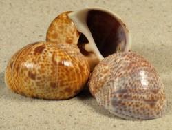 Natica hebraea FR-Mittelmeer 3+cm