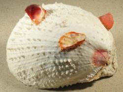 Spondylus varius PH 15,6cm *Unikat*
