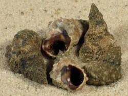 Echinolittorina tuberculata BB 1,4+cm (x2)