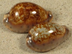 Cypraea zonaria CG 2,8+cm