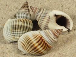 Nassarius livescens 2,3+cm (x3)