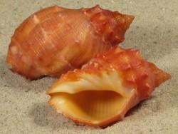 Mancinella alouina PH 3+cm