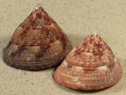 Trochus maculatus rot 4+cm