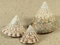 Tectus pyramis juvenil 2,7;3,5;4,5cm *Unikat*