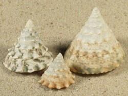 Tectus pyramis juvenil 1,7;2,7;3,3cm *Unikat*