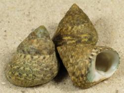 Phorcus articulatus ES 2+cm