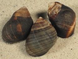 Littorina littorea m/O FR-Ärmelkanal 2,5+cm