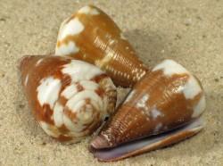 Conus rattus 2,5+cm