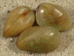Musculus subpictus UK 1+cm