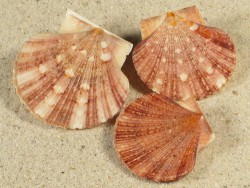 Minnivola pyxidata PH 3,1+cm (x3) *Unikat* Set