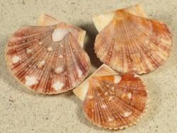 Minnivola pyxidata PH 3,2+cm (x3) *Unikat* Set