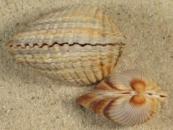 Cerastoderma glaucum NL 2,6+cm