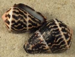Conus chaldaeus 1,8+cm