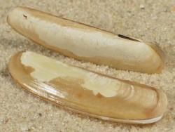 Phaxas pellucidus DK 2,4+cm
