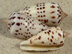 Conus blanfordianus PH 3,3+cm