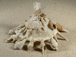 Xenophora pallidula PH 12,8cm *Unikat*
