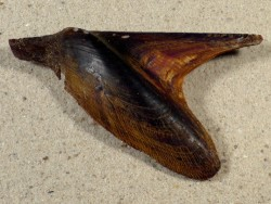 Pteria avicular PH 9,4cm *Unikat*