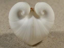 Meiocardia spec. PH 3+cm