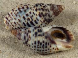 Cominella lineolata m/O AU 2,7+cm