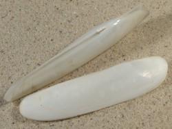 Cultellus attenuatus PH 7,5+cm