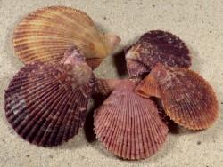 Mimachlamys varia FR-Ärmelkanal 3,4+cm (x5) *Unikat* Set