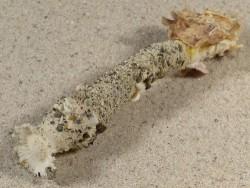 Verpa philippinensis PH 9,4cm *Unikat*