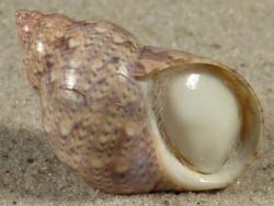Phasianella ventricosa m/O AU 3cm *Unikat*