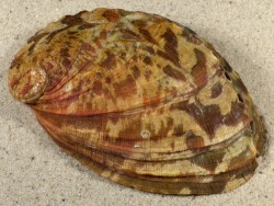 Haliotis tuberculata tuberculata FR-Aquakultur 9,9cm *Unikat*
