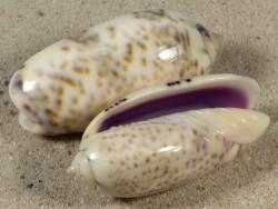 Oliva caerulea TZ 4+cm