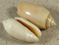 Oliva annulata PH 3,5+cm
