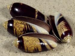 Oliva oliva f.oriola PH 2,5+cm