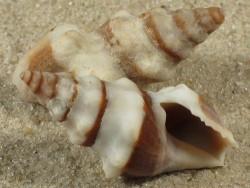 Clavus canalicularis FR-Pazifik 2,4+cm
