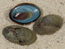Nipponacmea nigrans JP 1,8+cm