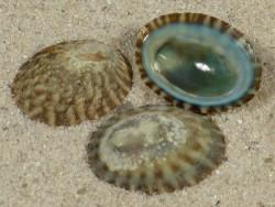 Nipponacmea fuscoviridis JP 1,6+cm