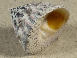 Trochus maculatus m/O PH 3,3cm *Unikat*