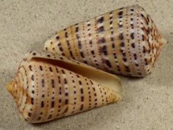 Conus genuanus GA 5+cm