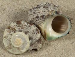 Lunella coronata TZ 2+cm