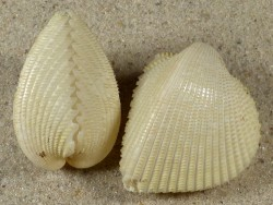 Fragum fragum SB 3+cm