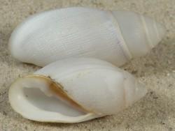 Ellobium aurisjudae PH 3,3+cm